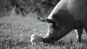'Gunda' star Gunda the pig and one of her piglets
