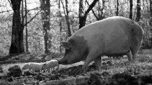 'Gunda' star Gunda the pig and some of her piglets